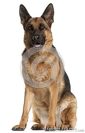 De Hond van de Duitse herder, 4 jaar oud, het zitten