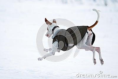 De hond van de Hond van Ibizan