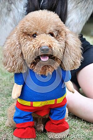 De hond van de poedel in kleren