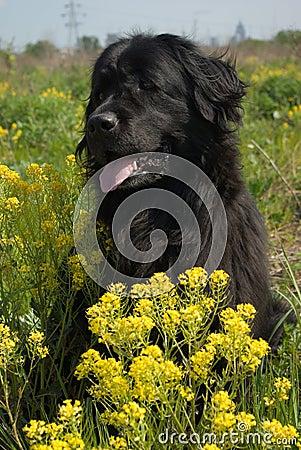 De hond van Newfoundland