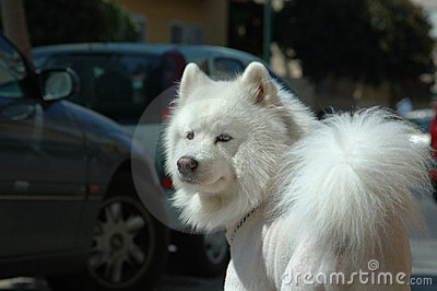 De hond van Samoyed