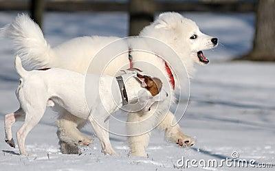 De hond van Samoyed en de terriër van Jack Russel