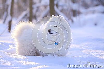 De hond van Samoyed in sneeuw