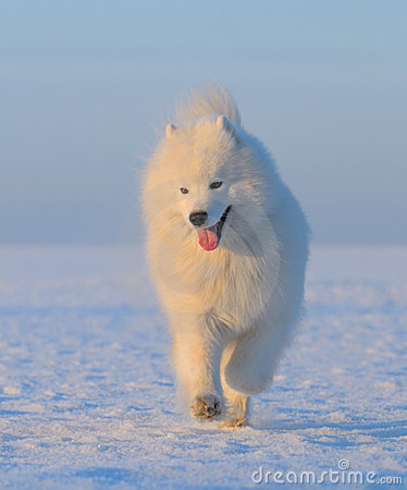 De hond van Samoyed - sneeuwwitte hond van Rusland