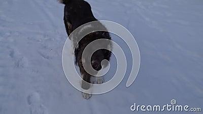 De hond zweet naar de eigenaar stock videobeelden