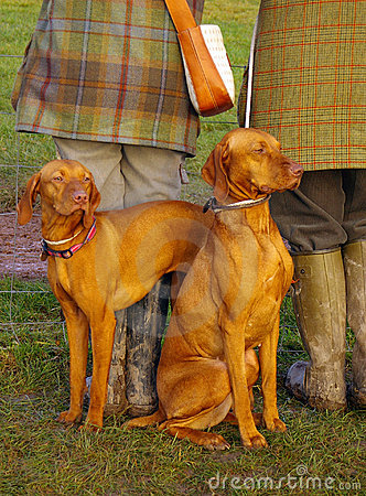 Twee honden hongaars ras vizsla door benen van twee mensen