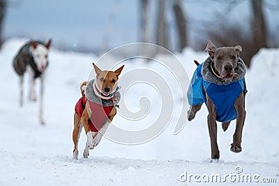De honden van Weimaraner, van Ibizan en van bassenjsi