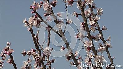 De honingbij zoogt nectar van abrikozenbloesem stock footage