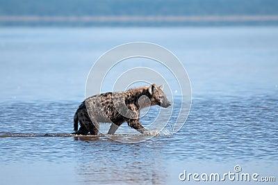 De hyena op snuffelt rond