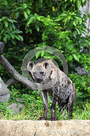 De hyena is staart bij ons met bosachtergrond