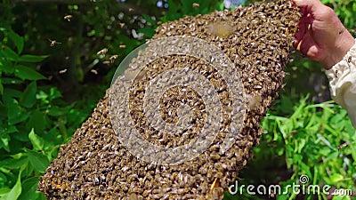 De imker heeft een zwerm bijen op het frame gevangen Een man staat met een frame vol bijen Steadicam, 4k stock footage