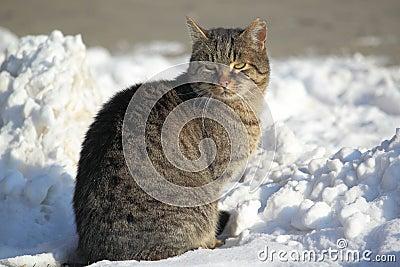 De kat van de gestreepte kat
