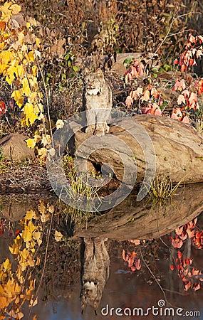 De kat van de lynx