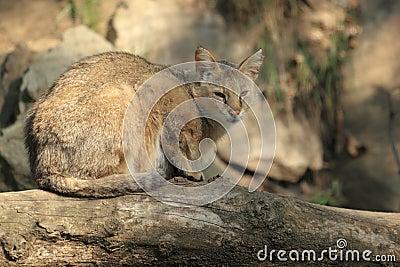 De kat van de wildernis