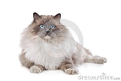 De kat van Ragdoll