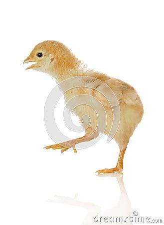 De kip van de baby in beweging