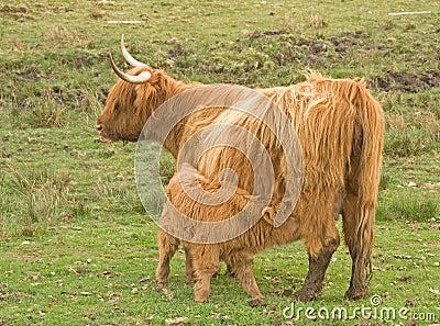 De koe van het hoogland met kalf bij voet.