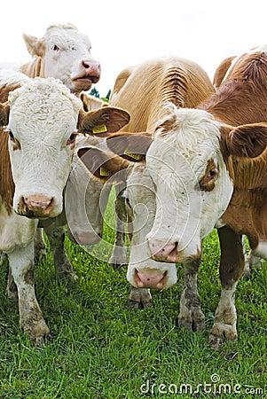 De koeien van het vee
