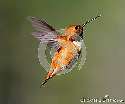De Kolibrie van Rufus
