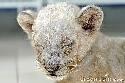 De kop van de leeuw