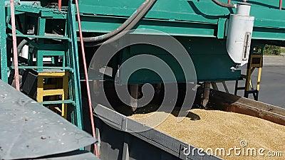 De korrels van tarwe worden verzameld voor bepaling van de kwaliteit van korrels, Installatie van broodproducten, onderneming van stock video