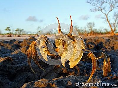 De krab van het spook op rotsen