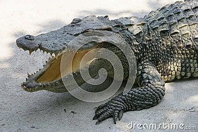 De krokodil van Thailand
