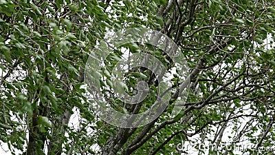 De kroon van een boom steekt in een sterke wind De bladeren trillen onder storm stock videobeelden