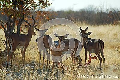 De kudde van de impala in Etosha