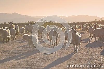 De kudde van schapen