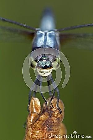 De la libélula cierre para arriba