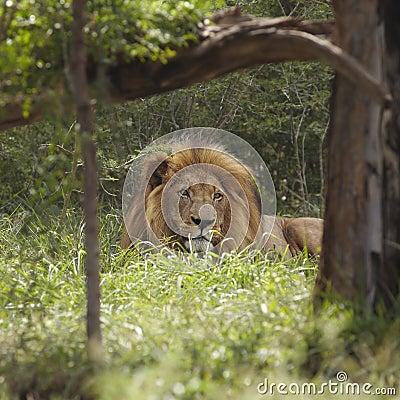 De leeuw ligt in schaduw van boom