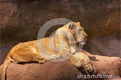HDR-Leeuw op een Rots
