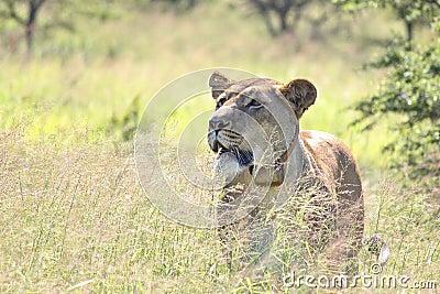 De leeuwin op snuffelt rond