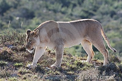 De leeuwin snuffelt rond