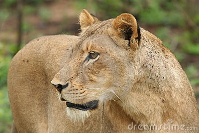 De leeuwin staart