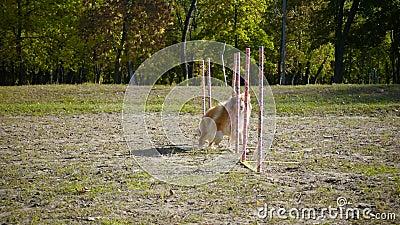 De lopende slalom van de colliehond bij behendigheid opleiding op het park stock videobeelden