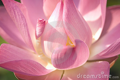 De loto de la flor cierre para arriba