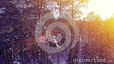 De LUCHT warme de zonsondergangvlieg van de Zon lichte winter onder het de boom bos mooie aardige noorden van de pijnboomsneeuw s stock videobeelden