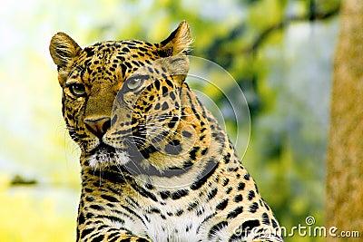 De luipaard