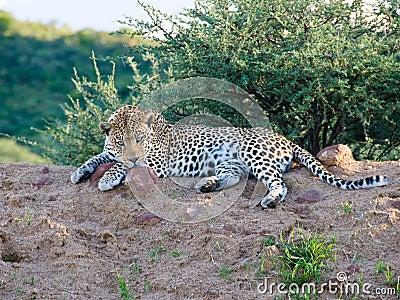 De luipaard met dreigend staart, Namibië