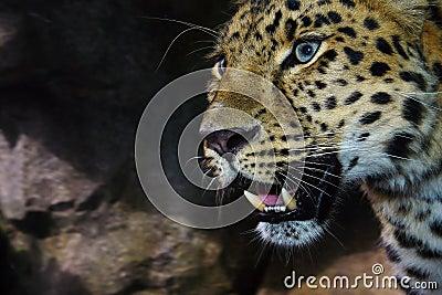 De Luipaard van Amur op snuffelt rond