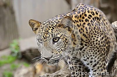 De Luipaard van Sri Lanka