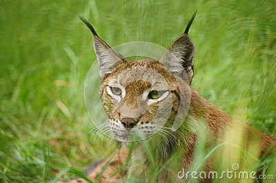 De lynx