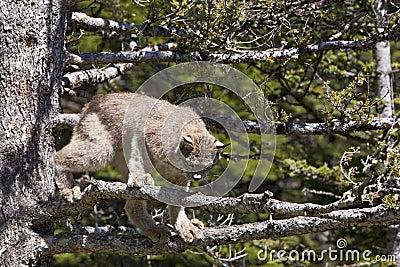 De Lynx van Canada