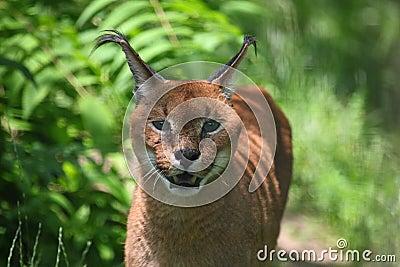 De lynx van Caracal