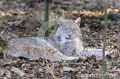 De lynx van de lynx