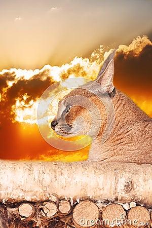 De lynx van de steppe