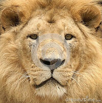 De majestueuze starende blik van de leeuw