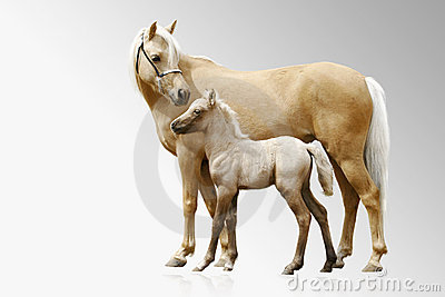 De merrie en het veulen van poneys
